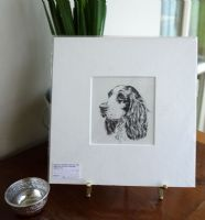 English Springer Spaniel  - head  1960's print by Bridget Olerenshaw